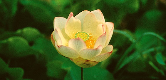 Basic Procedures For Re Potting Or Planting Your Lotus