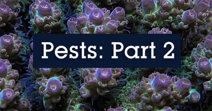 Pests Invading The Reef Aquarium Part 2 Flatworms Snails Limpets