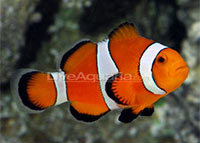 Clownfish Care: Finding Nemo   In Your Home?
