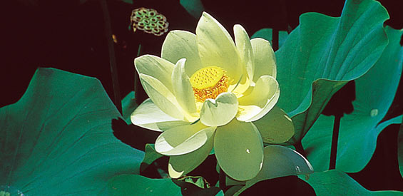 Pond Plant Profile Lotus Plant Nelumbo Lutea