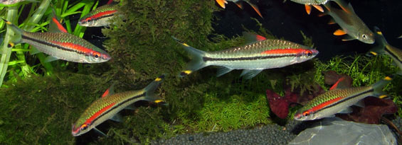 Freshwater Aquarium Fish Barbs