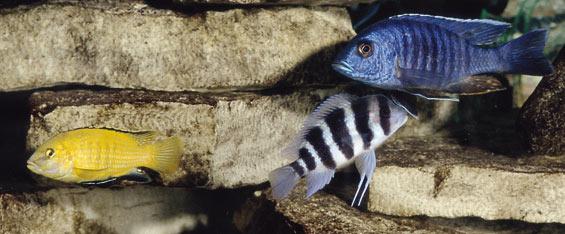 Freshwater Aquarium Fish Species Profile African Cichlid