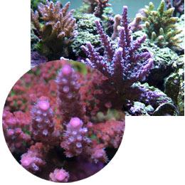 Maintaining A Reef Aquarium Pests Invading The Reef Aquarium Hobby Part 1 Red Bugs Nudibranchs