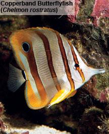 reef keeping aiptasia control options