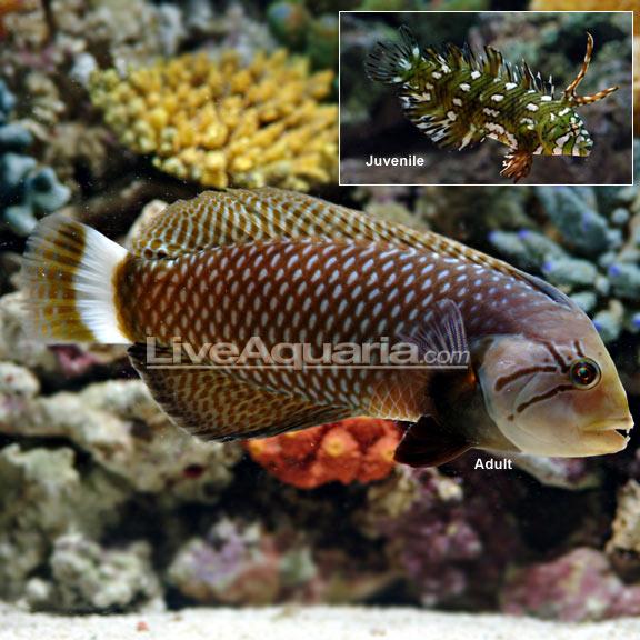 Saltwater Aquarium Fish for Marine Aquariums: Dragon Wrasse