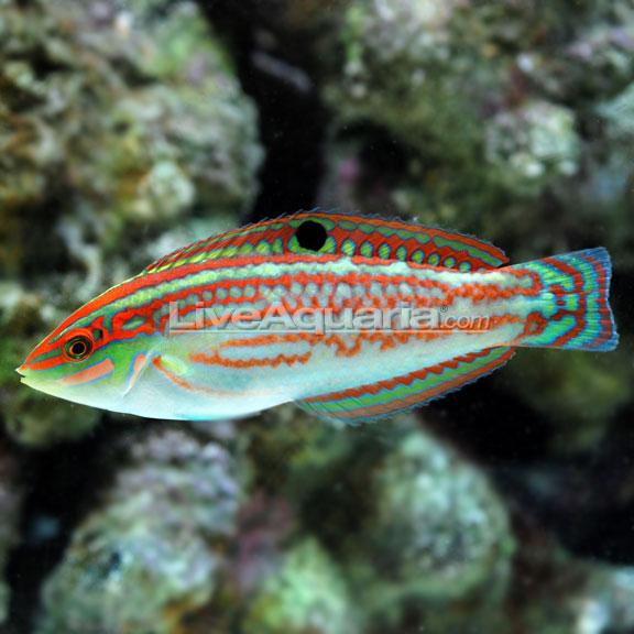 Christmas Wrasse - Saltwater Aquarium Fish For Marine Aquariums: Christmas Wrasse, Fiji