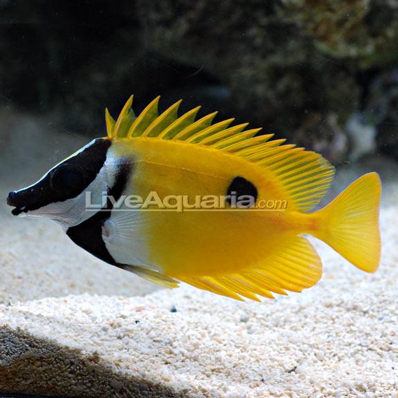 saltwater aquarium fish for marine aquariums one spot foxface