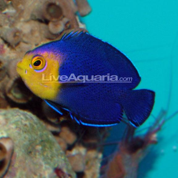 saltwater aquarium fish for marine aquariums pygmy cherub angelfish