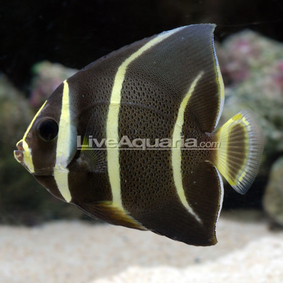 Saltwater Aquarium Fish For Marine Aquariums Gray Black Angelfish