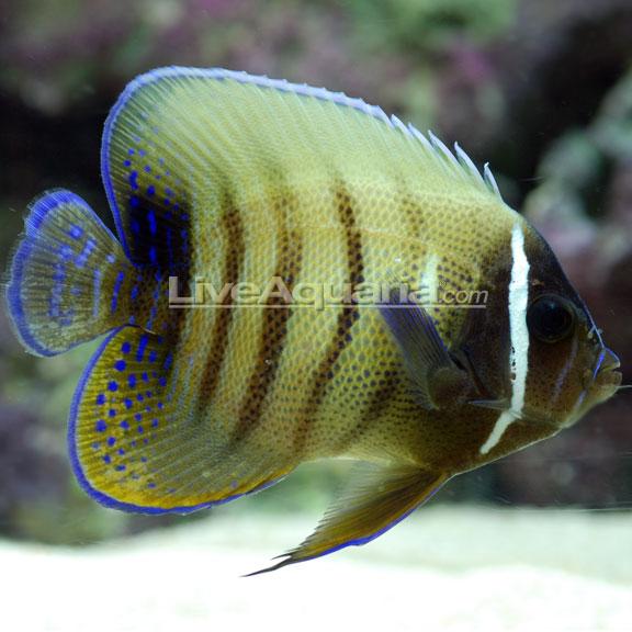 saltwater aquarium fish for marine aquariums six bar angelfish
