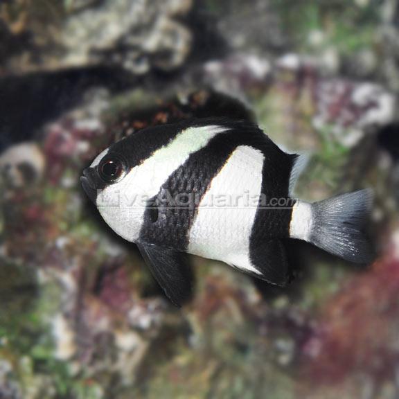 Saltwater Aquarium Fish For Marine Aquariums Three Stripe Damselfish