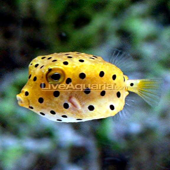 Saltwater Aquarium Fish For Marine Aquariums Cubicus Boxfish