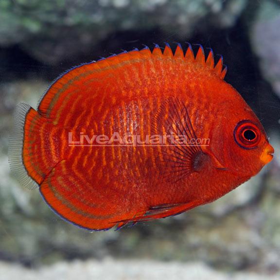 saltwater aquarium fish for marine aquariums golden angelfish