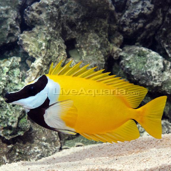 saltwater aquarium fish for marine aquariums foxface lo