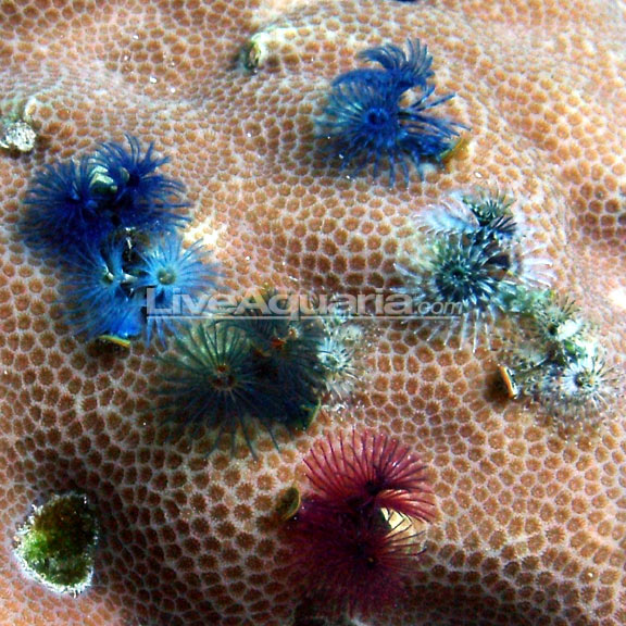 Christmas Tree Worm On Rock Multicolor Saltwater Aquarium Invertebrates