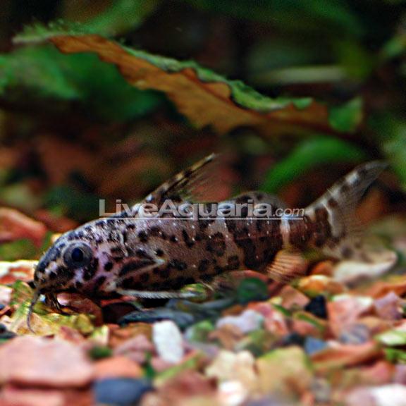 Tropical Fish For Freshwater Aquariums Upside Down Catfish