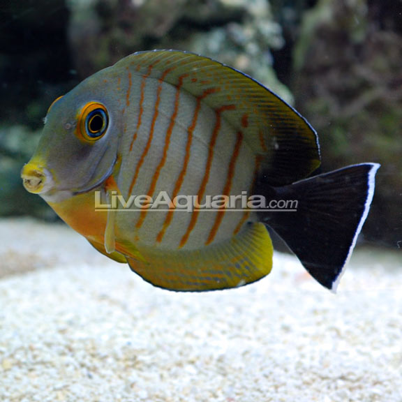 saltwater aquarium fish for marine aquariums mimic eibli tang