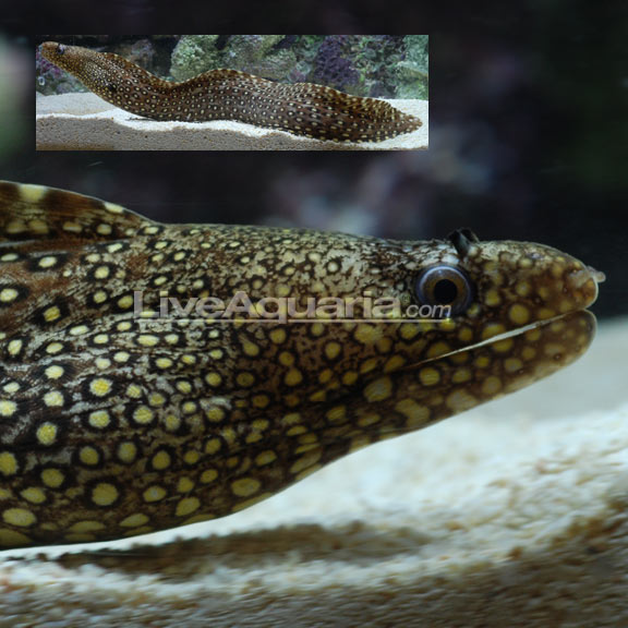 Saltwater Aquarium Fish For Marine Aquariums Jeweled Moray Eel