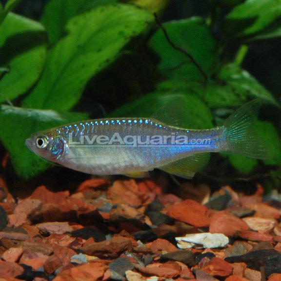 Tropical Freshwater Aquarium Fish Turquoise Danio Minnow
