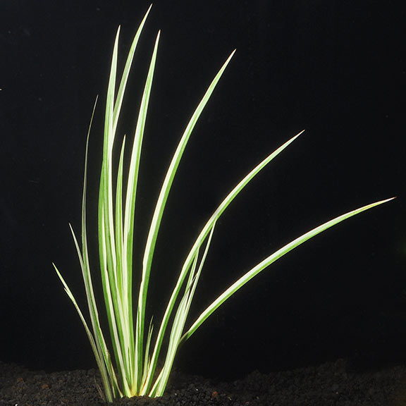 PL - Variegated Japanese Dwarf Rush - Bare Root