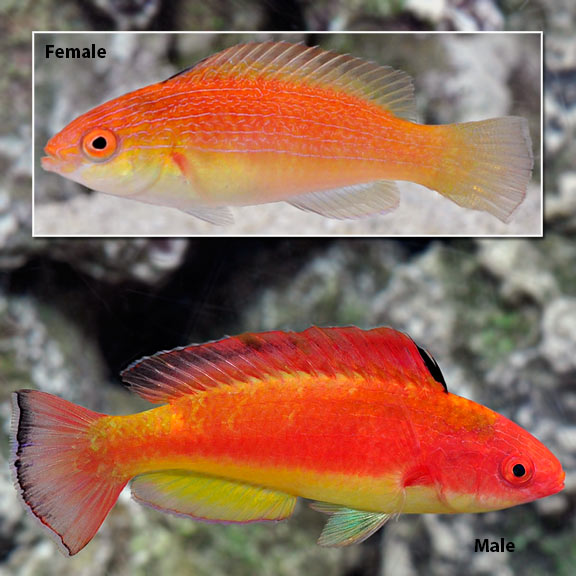 Saltwater Aquarium Fish For Marine Aquariums Hooded Fairy Wrasse
