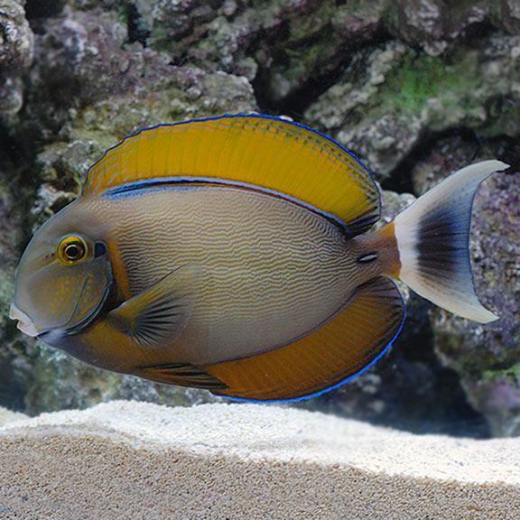 saltwater aquarium fish for marine aquariums black spot tang