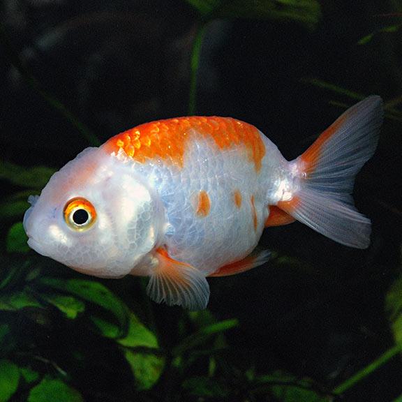 Ranchu Goldfish Red White Tropical Fish For Freshwater Aquariums