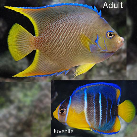 saltwater aquarium fish for marine aquariums blue angelfish