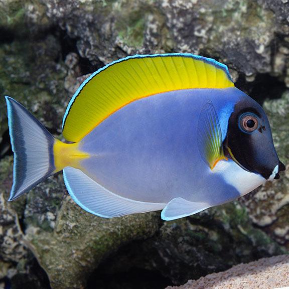 saltwater aquarium fish for marine reef aquariums powder blue tang