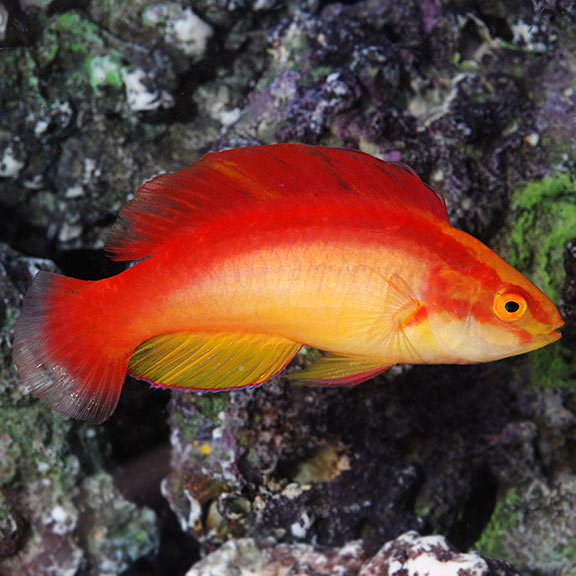 Saltwater Aquarium Fish For Marine Aquariums Flame Fairy Wrasse