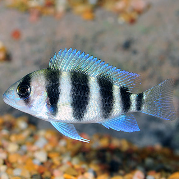 Tropical Fish For Freshwater Aquariums Frontosa Cichlid Tanganyikan