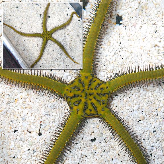 saltwater aquarium invertebrates for marine aquariums brittle sea