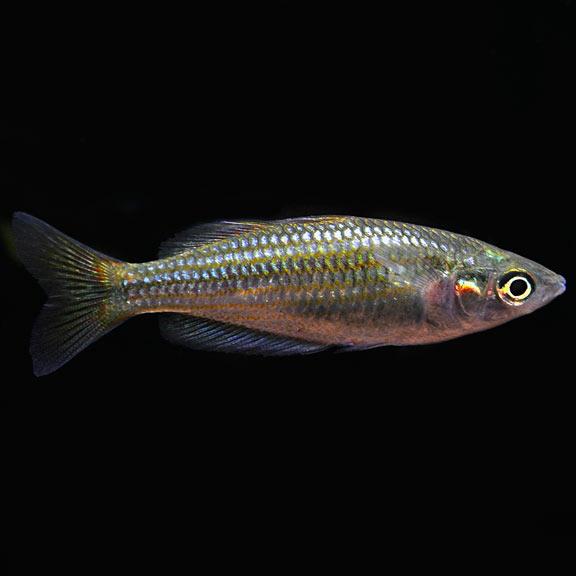 Tropical Fish For Freshwater Aquariums Australian Rainbow