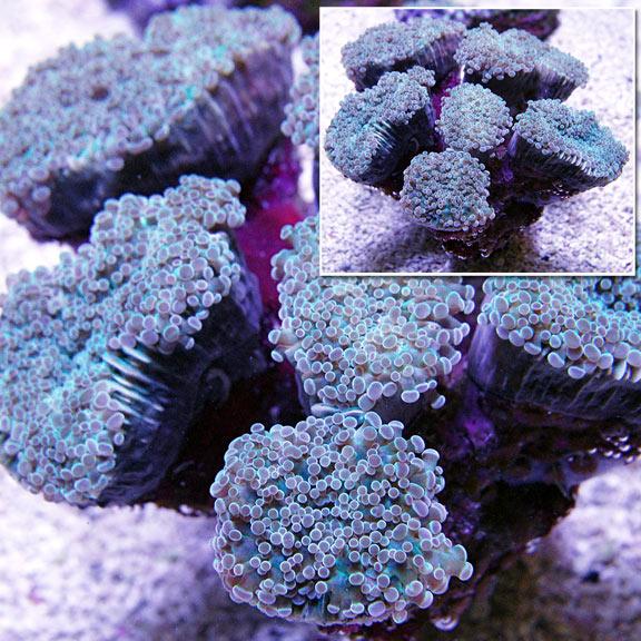 saltwater aquarium corals for marine reef aquariums frogspawn coral