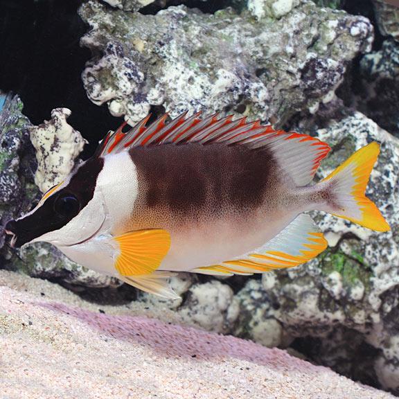 saltwater aquarium fish for marine aquariums magnificent foxface