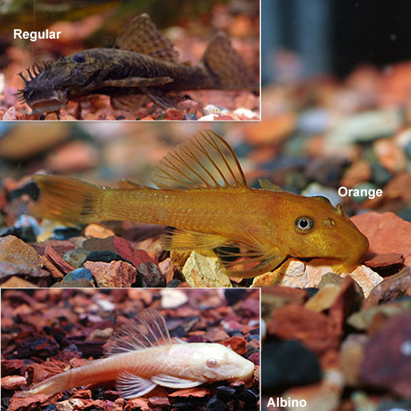 Tropical Fish for Freshwater Aquariums: Bushy Nose Pleco