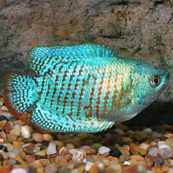 Powder Blue Dwarf Gourami Labyrinth Fish Tropical Fish For Freshwater Aquariums