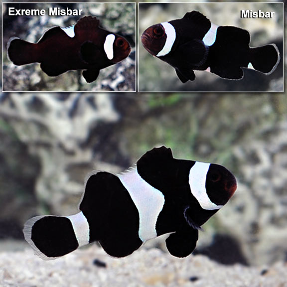 saltwater aquarium fish for marine reef aquariums black white