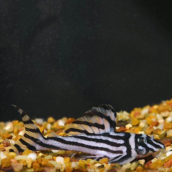FW - Zebra Altimira (L-46) Plecostomus, Captive-Bred
