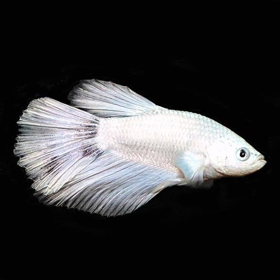 White Half Moon Male Betta Tropical Fish For Freshwater Aquariums
