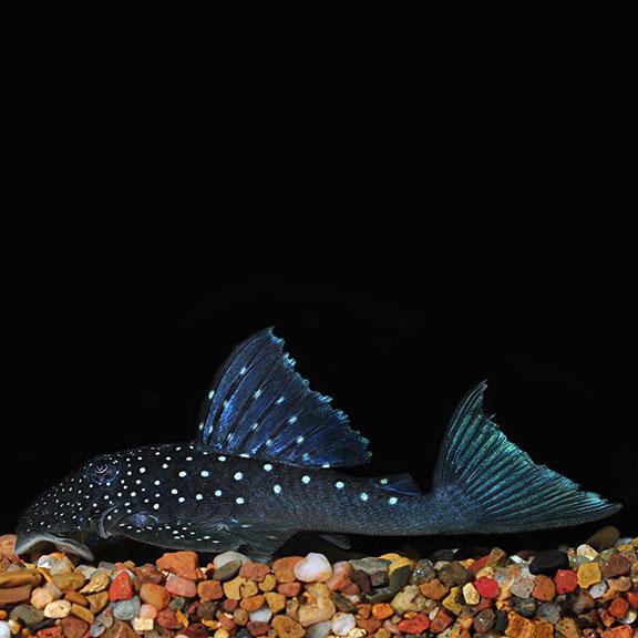 Blue Phantom L 128 Plecostomus Tropical Fish For Freshwater Aquariums