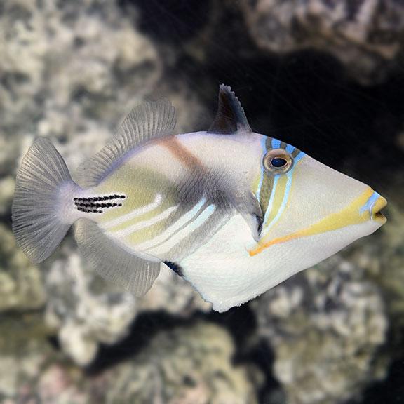 saltwater aquarium fish for marine aquariums humu picasso triggerfish