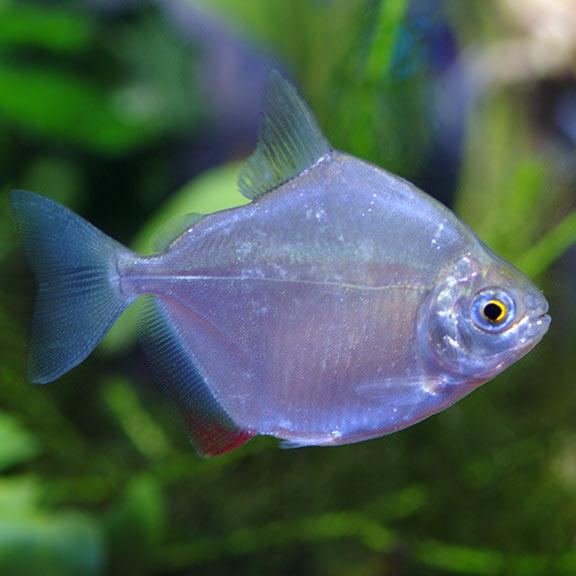 Silver Dollar Tropical Fish For Freshwater Aquariums