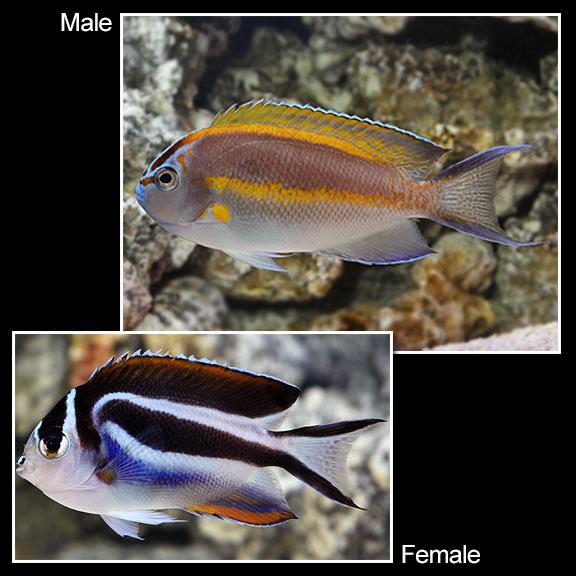 Saltwater Aquarium Fish For Marine Aquariums Bellus Angelfish