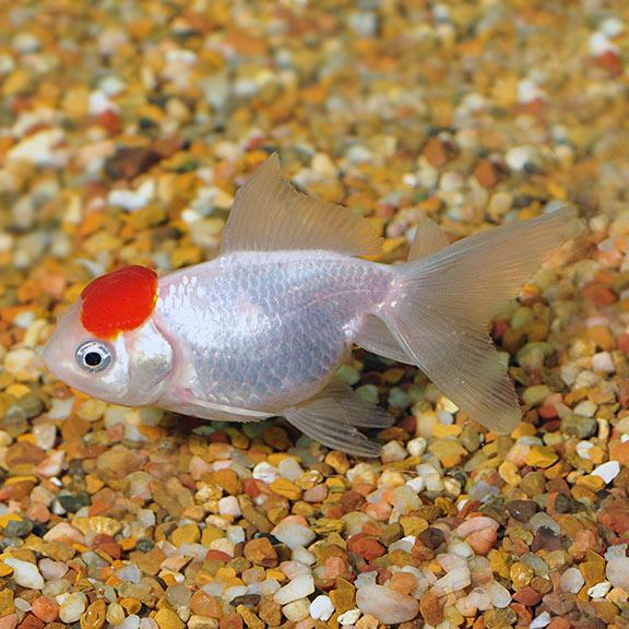 Tropical Fish For Freshwater Aquariums Red Cap Oranda Goldfish