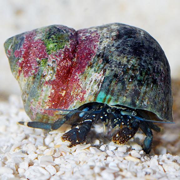 Hermit Crab Saltwater Aquarium - 1000+ Aquarium Ideas