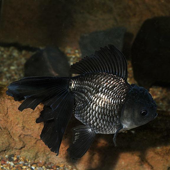 FW - Black Oranda Goldfish