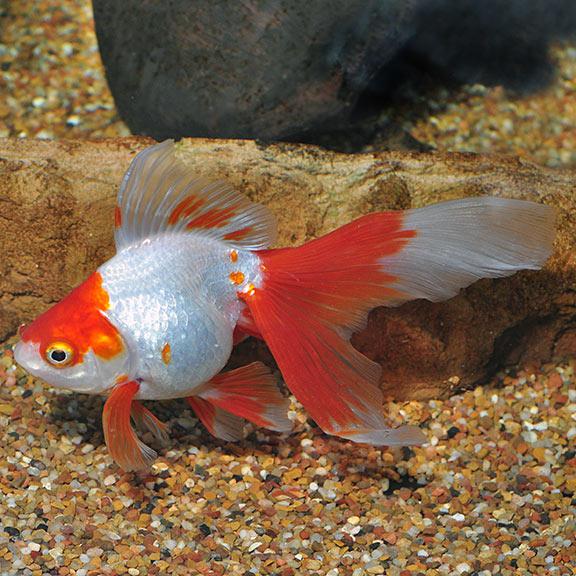 Fw Red White Ryukin Goldfish Small