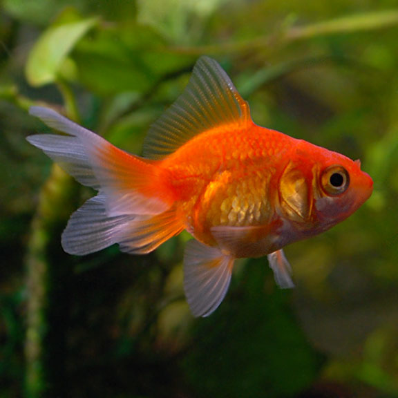 tropical fish for freshwater aquariums fantail goldfish red