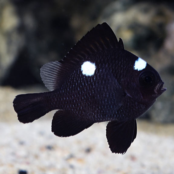 Domino Damselfish R Aquarium Fish